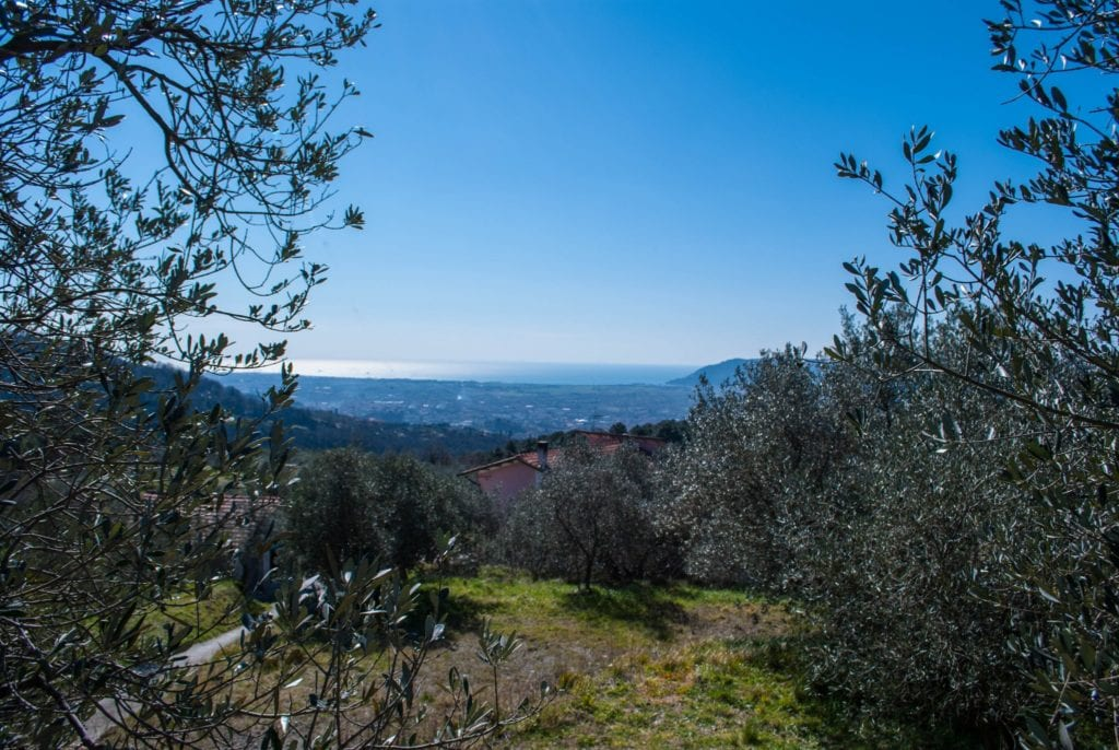 Olive Oil Trees with sea view Tuscany