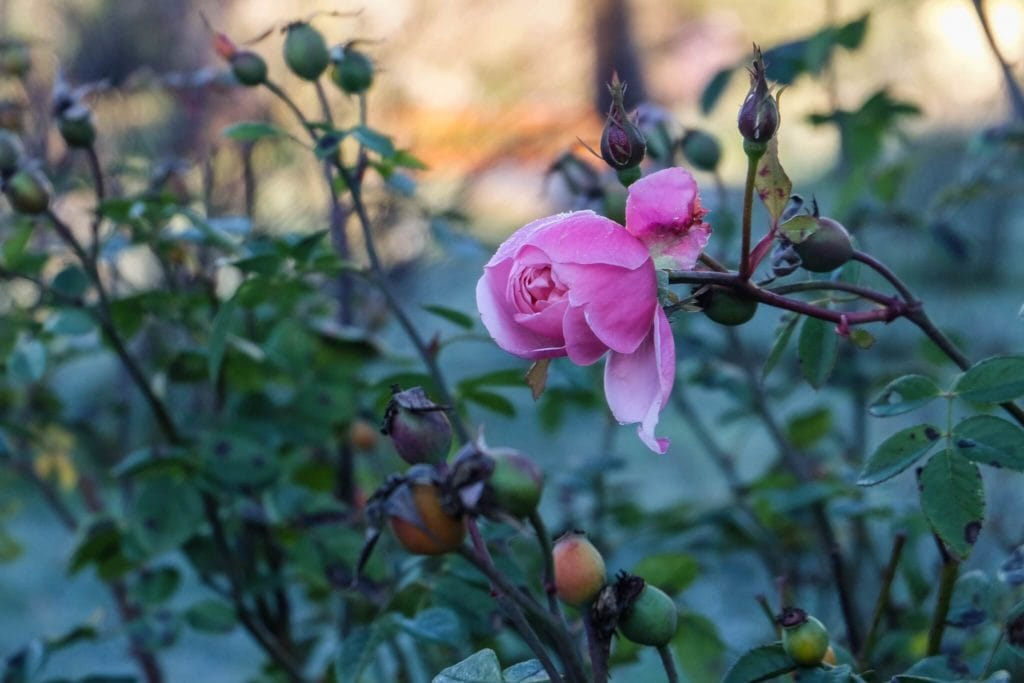Garden of Roses Valentine's day in Tuscany