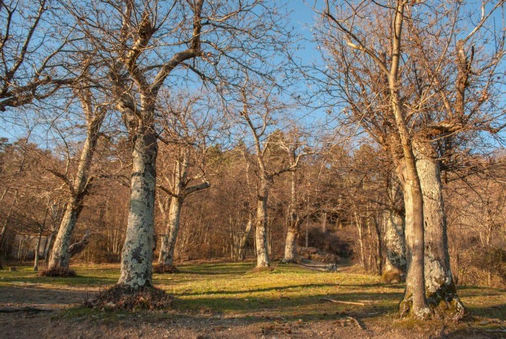 Chestnut woods
