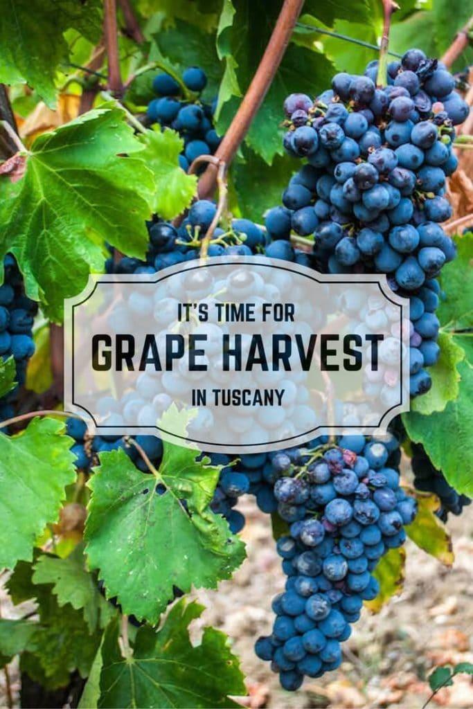 Grape harvest pinterest