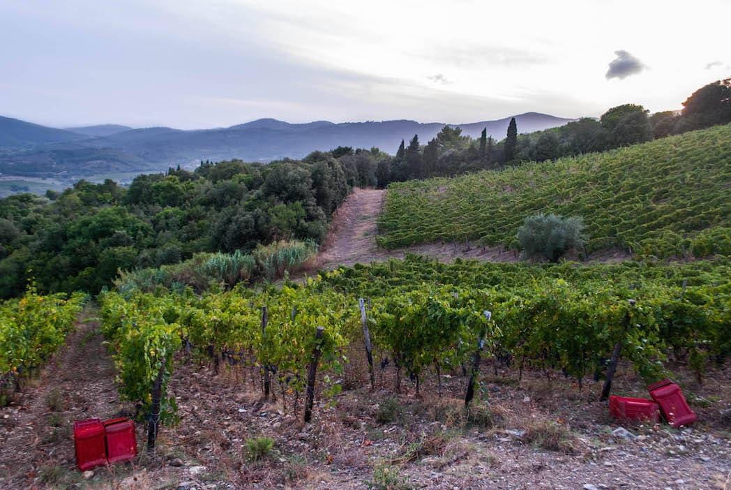 vineyard Hill Harvest Suvereto Tuscany