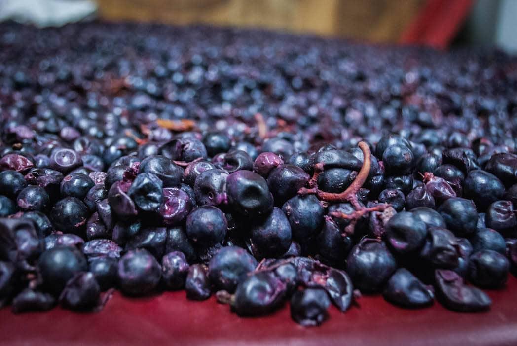 wine grapes Harvest Tuscany