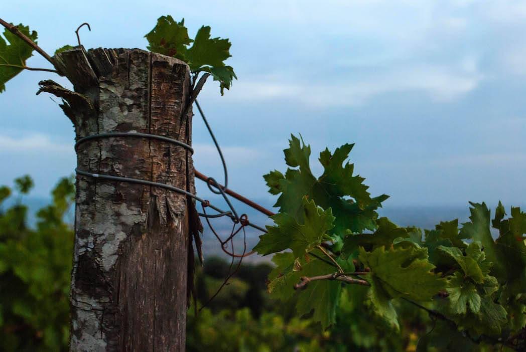 wood and vineyard Harvest Tuscany