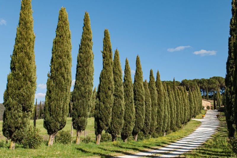 Cypresses in Bibbona Tuscany
