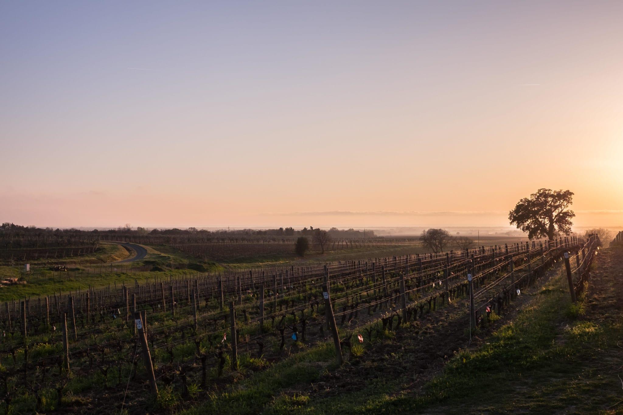 Sunset at the vineyard in Bolgheri Tuscany