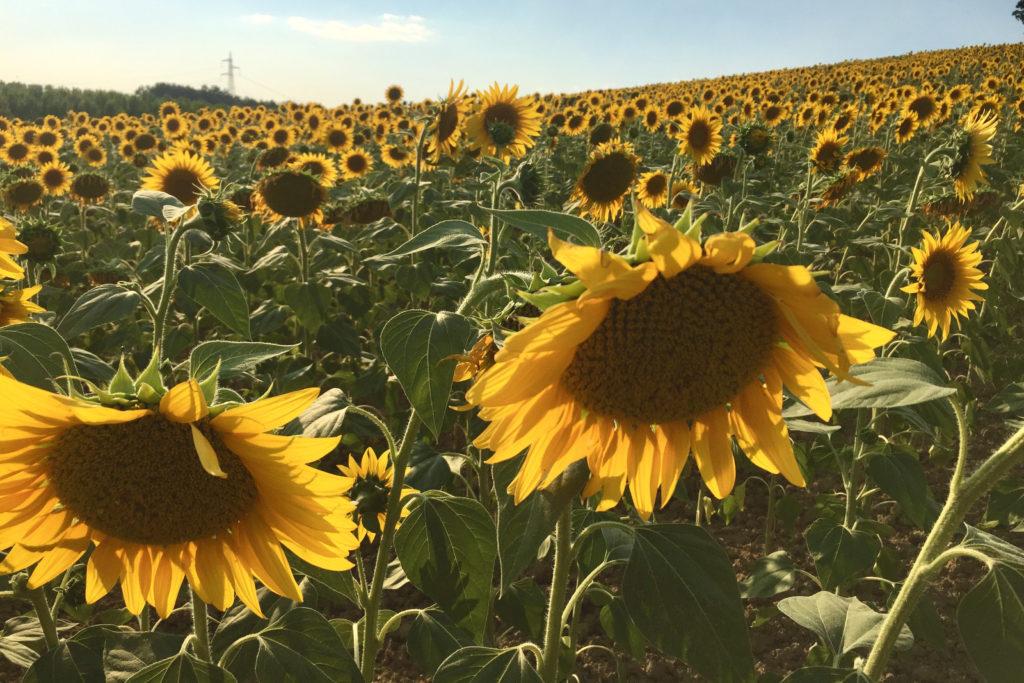 Sunflowers in Valdera in Tuscany
